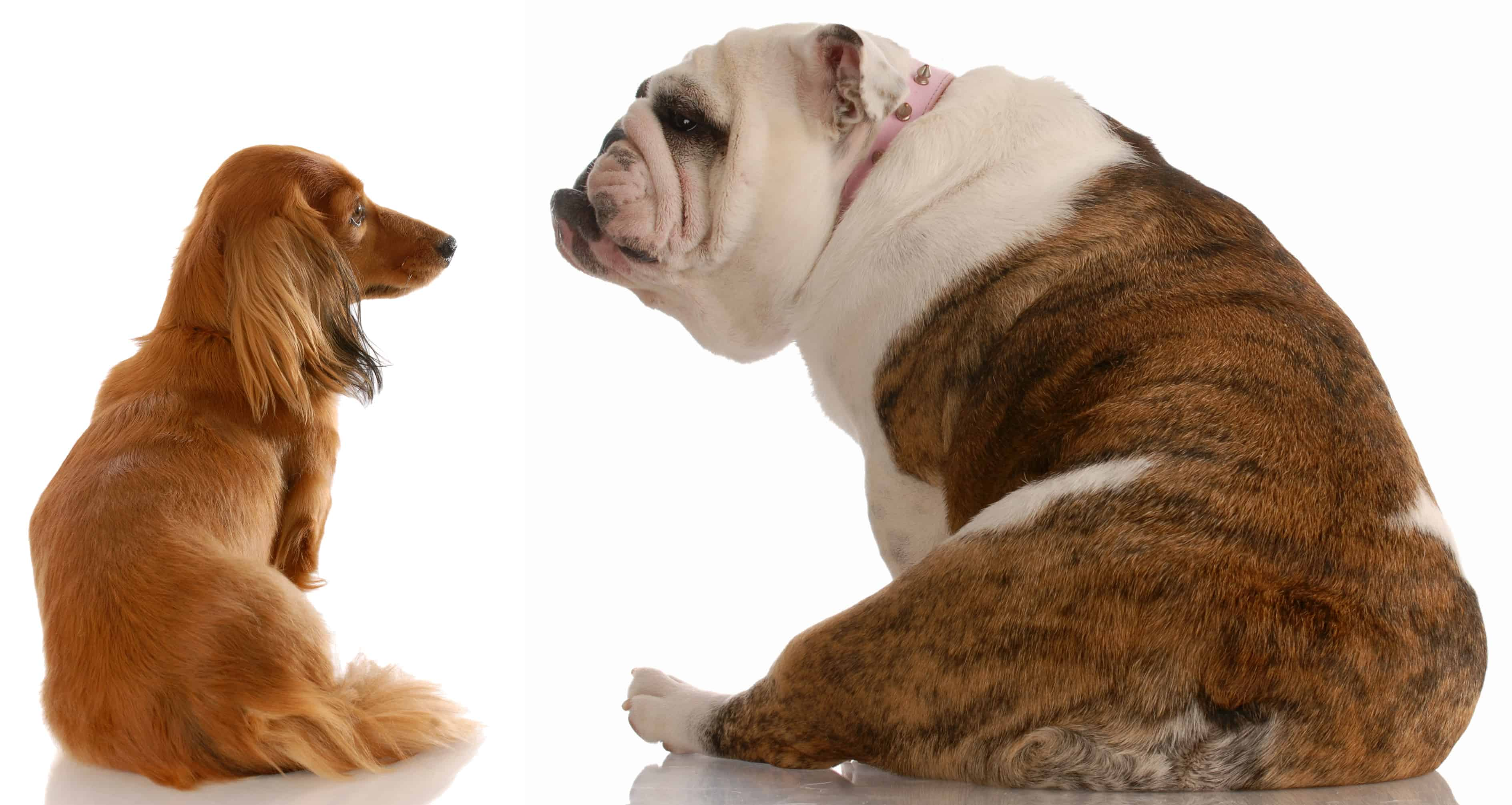 dogs in contrast – Copy